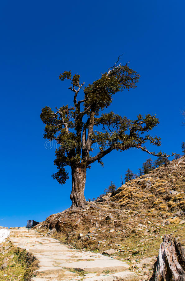 Isolated Rhododendron tree enroute to Chandrashila and Tungnath. Trail from Chopta village of uttrakhand has alpine meadows or bugyal and wooded hills which royalty free stock photo