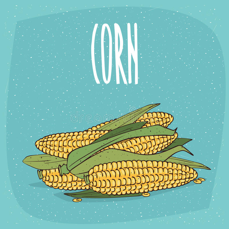 Isolated ripe whole corn ears or cobs with leaves. Group of several ripe whole vegetable fruits, corn ears or cobs with leaves. Visible seeds. Isolated stock illustration