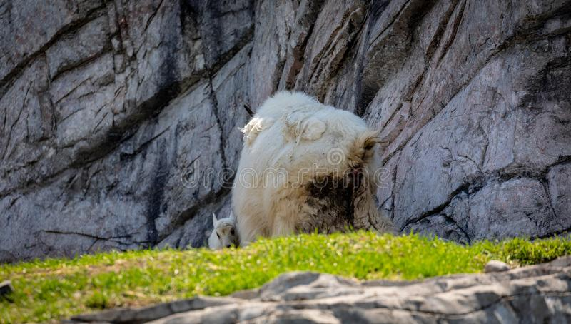 Isolated rocky mountain goat kid and mother stock photo