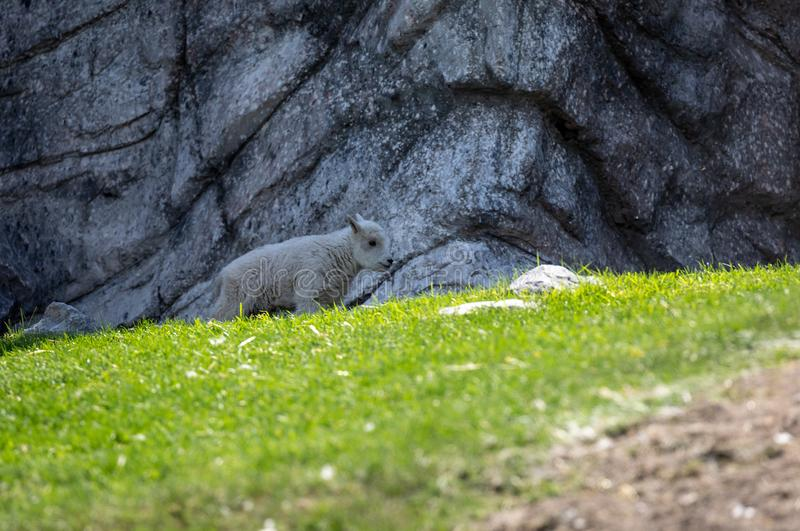 Isolated rocky mountain goat kid royalty free stock photos