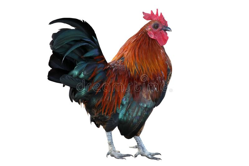 Download Isolated Rooster stock photo. Image of chicken, attractive - 9811356