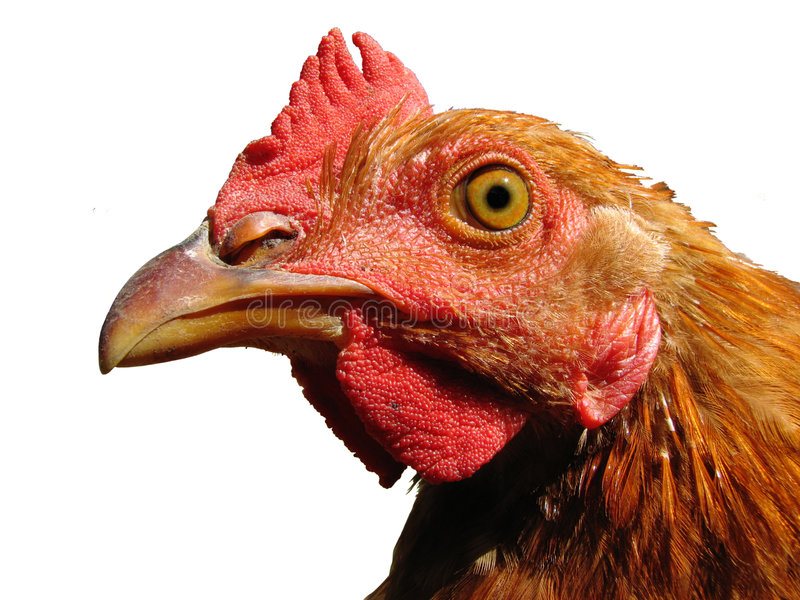 Isolated rooster head. Isolated young red rooster head close up stock photo