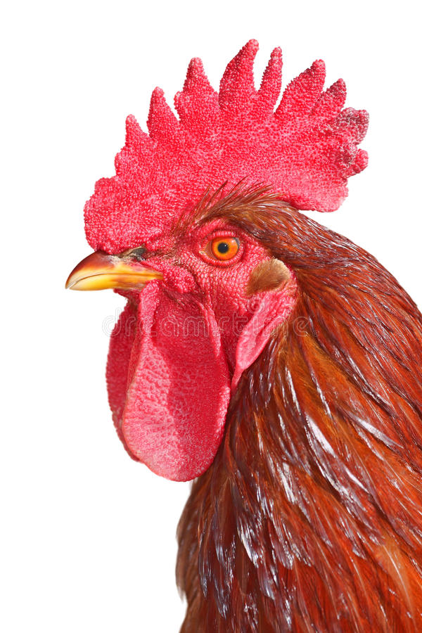 Isolated rooster portrait. Colorful Rooster isolated on white background royalty free stock images