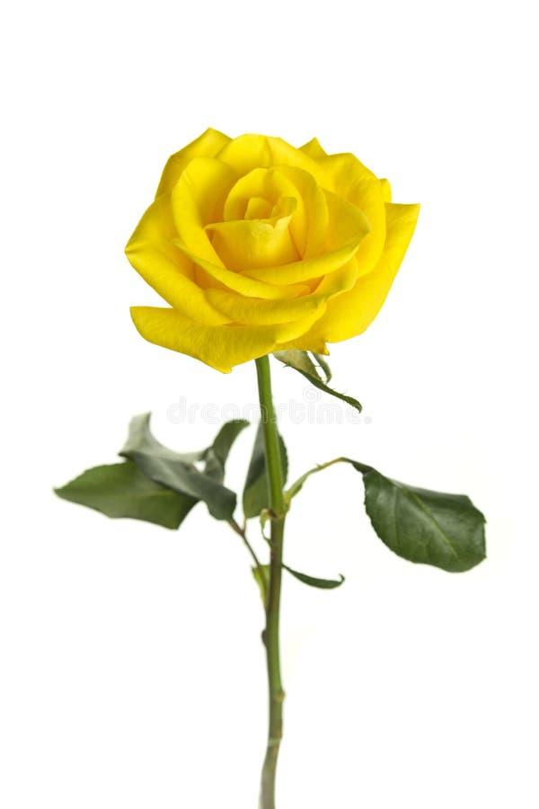 Isolated rose royalty free stock image