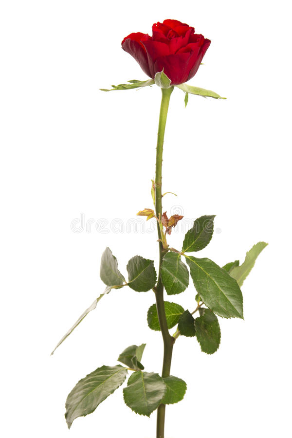 Isolated rose stock photos