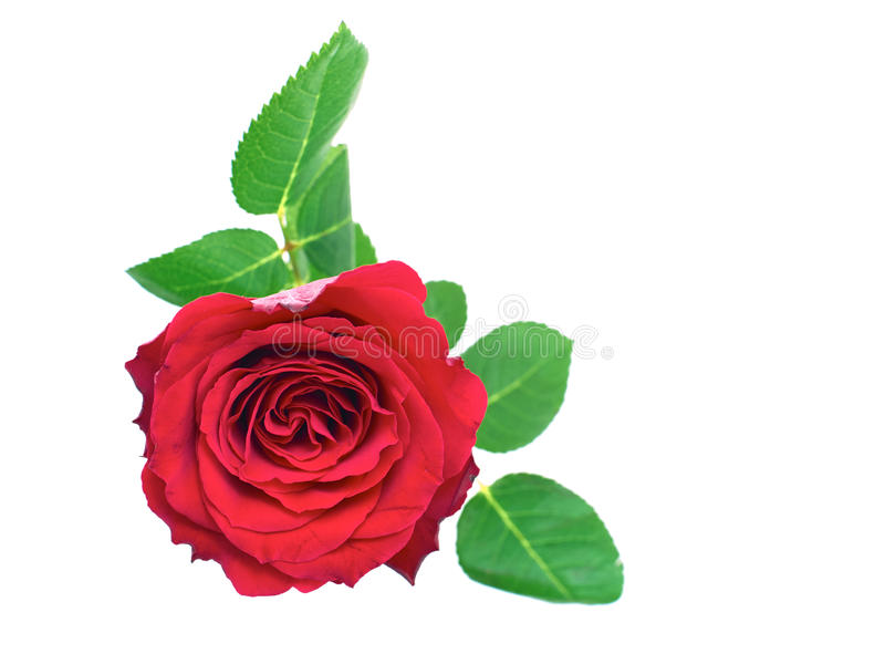 Isolated Rose stock images