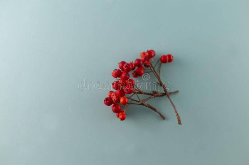 Isolated rowan berry on blue background stock photography