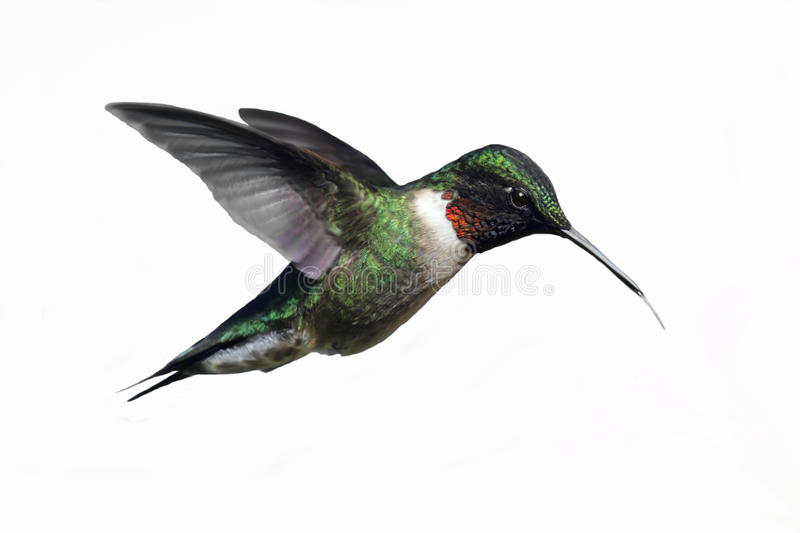 Isolated Ruby-throated Hummingbird stock photo