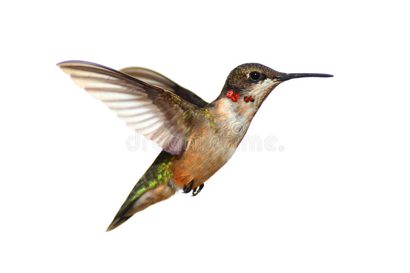 Isolated Ruby-throated Hummingbird royalty free stock photography