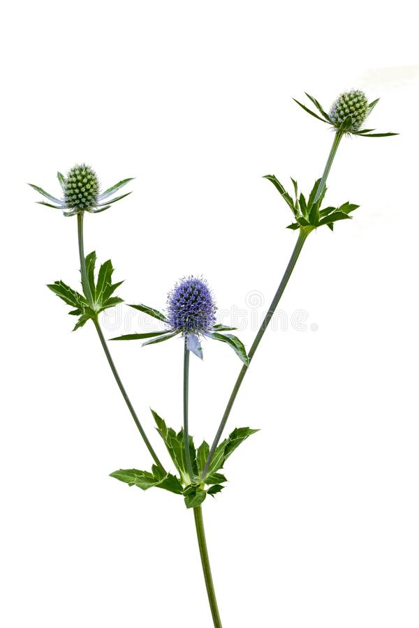 Isolated Sea Holly. View of a Blue Star Plant Isolated on a white background stock image