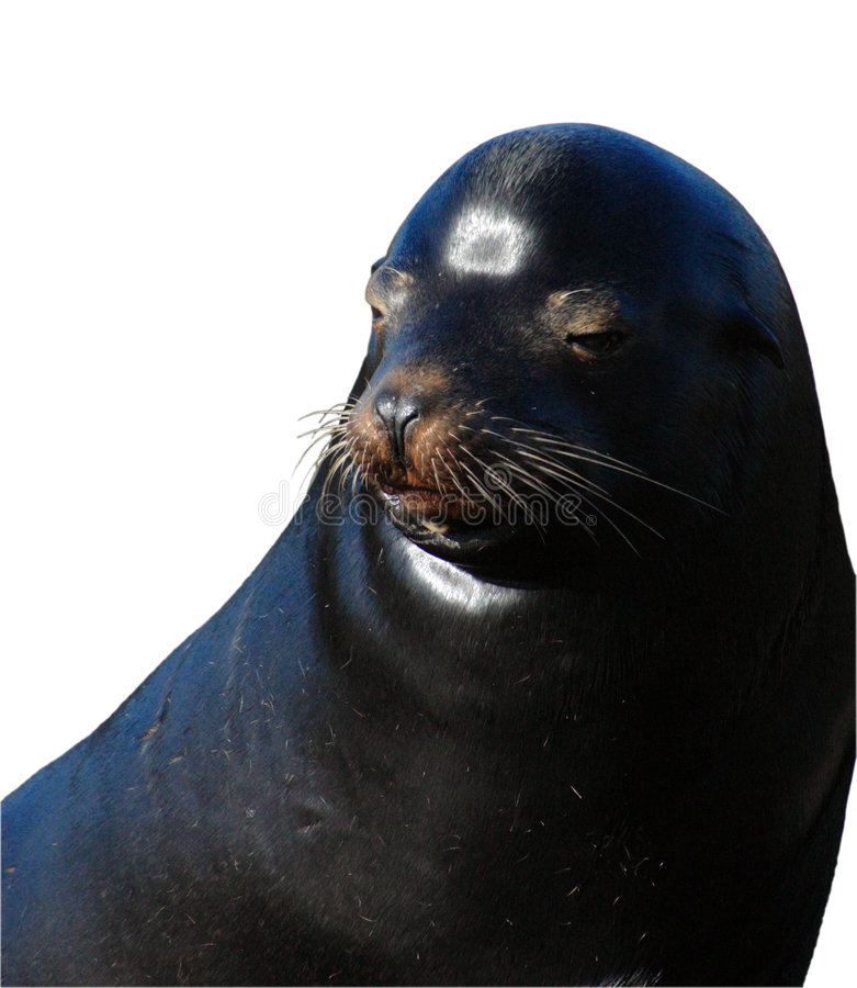 Download Isolated Seal Face stock photo. Image of background, seal - 4151482
