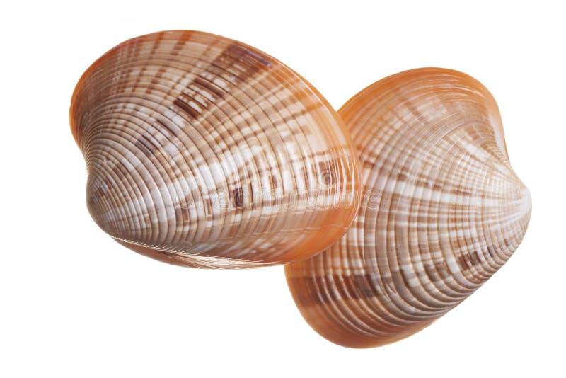 Isolated Seashells royalty free stock images