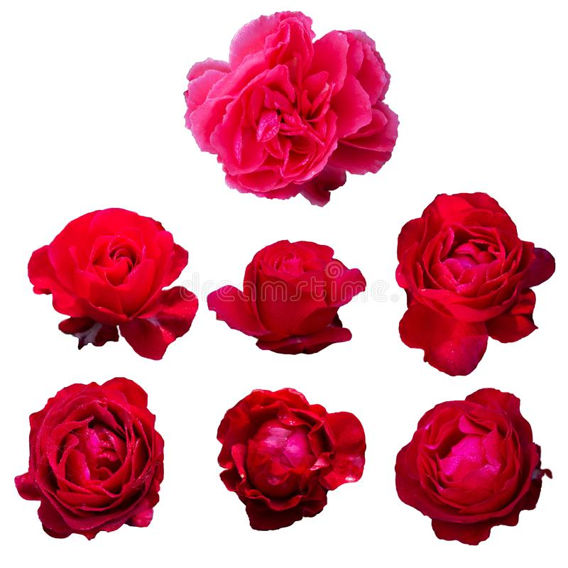 isolated seven pink and red roses flower gift for romantic valentine or wedding celebration on white background royalty free stock images