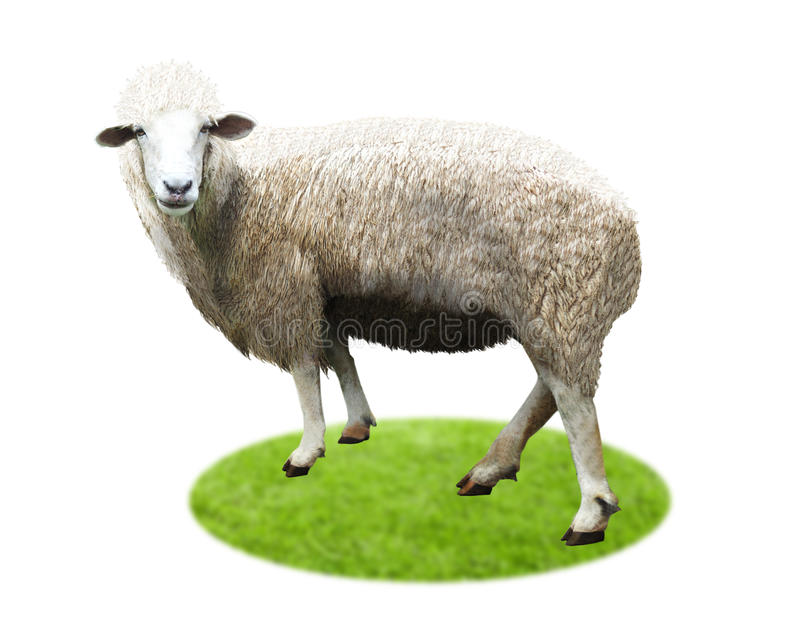 Isolated Sheep standing full. stock images