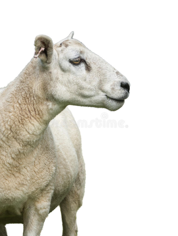 Isolated Sheep On White. Isolated Sheep Or Ram P{rofile On A White Background royalty free stock images