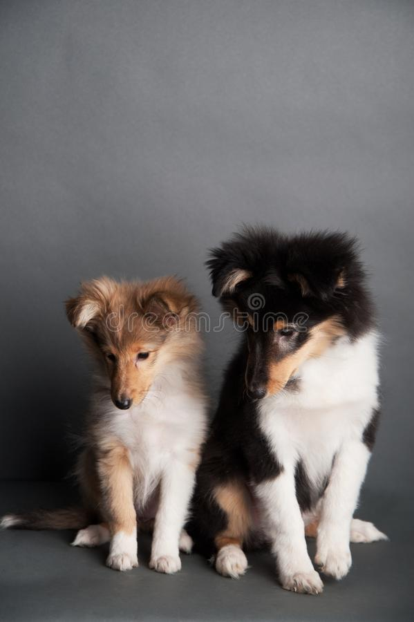 Isolated shetland sheepdog puppy in the studio, two cute sheltie puppies stock photography