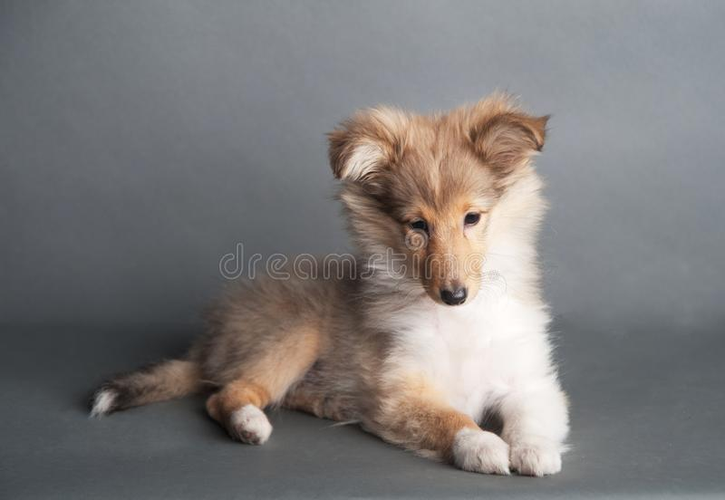 Isolated shetland sheepdog puppy in the studio royalty free stock photo