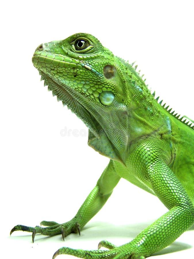 Isolated shot of Green Iguana's head royalty free stock photos
