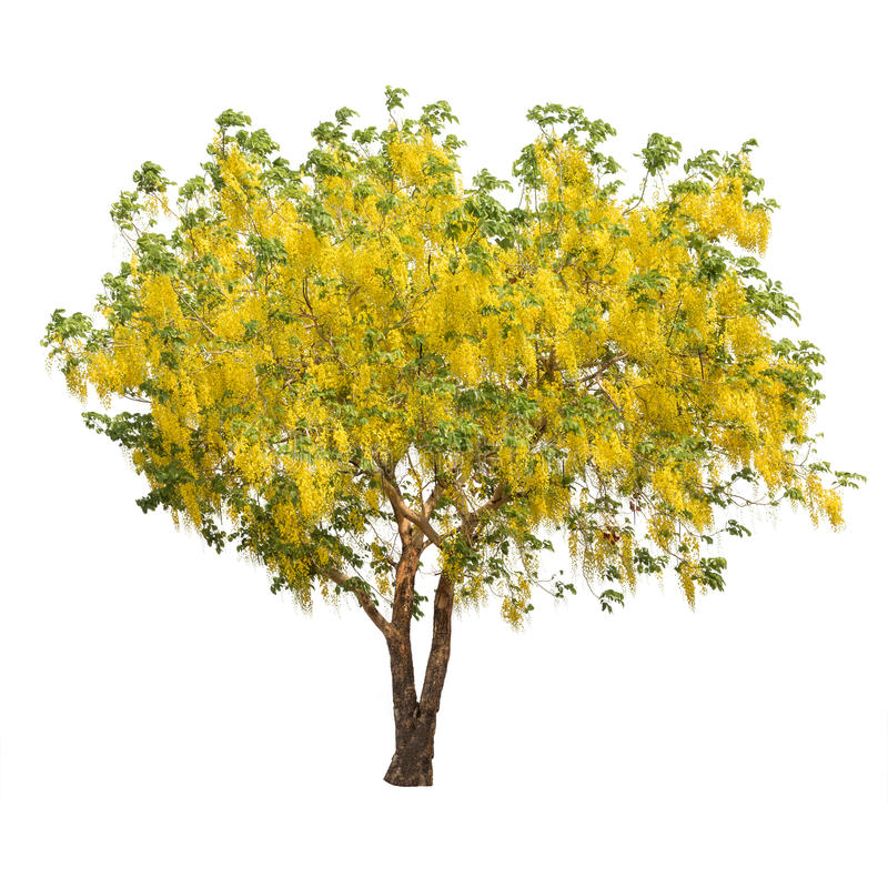 Isolated shower tree on white background royalty free stock photo