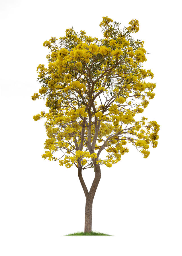 Free Isolated Silver Trumpet Tree Or Yellow Tabebuia On White Background Royalty Free Stock Photos - 68328698