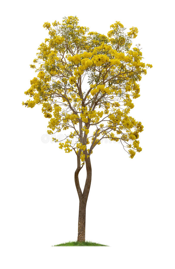 Isolated Silver trumpet tree or Yellow Tabebuia on white background royalty free stock photo