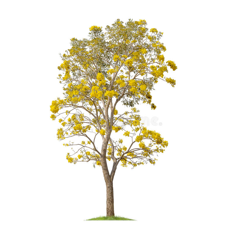 Isolated Silver trumpet tree or Yellow Tabebuia on white background stock photos