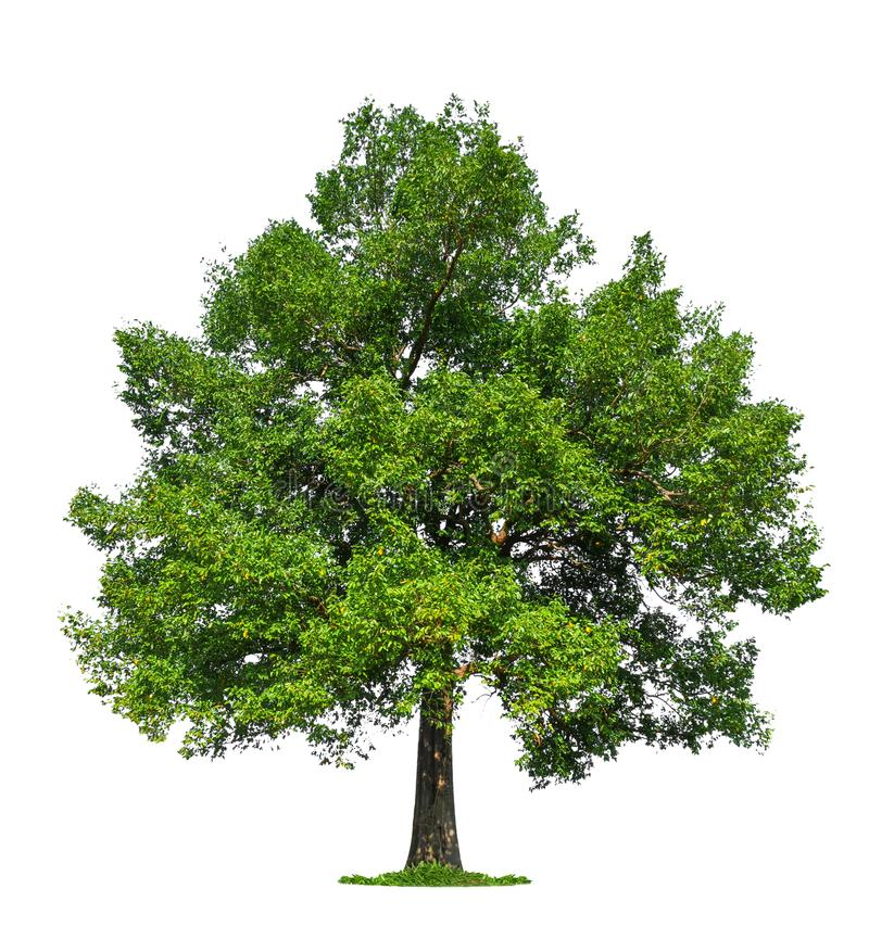Isolated single big tree on white background stock images