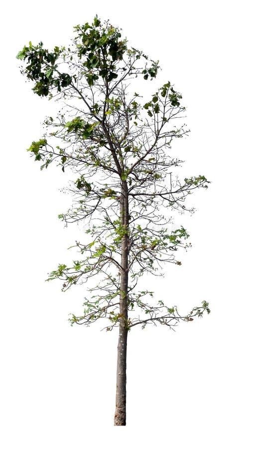 Isolated single big tree on white background stock image