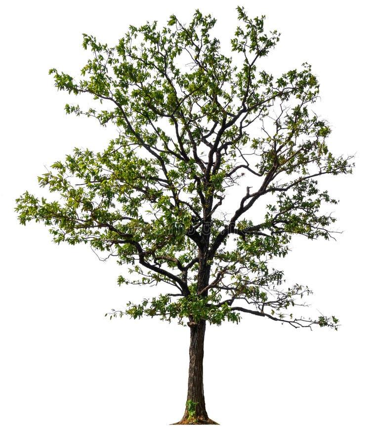 Isolated single big tree on white background royalty free stock images
