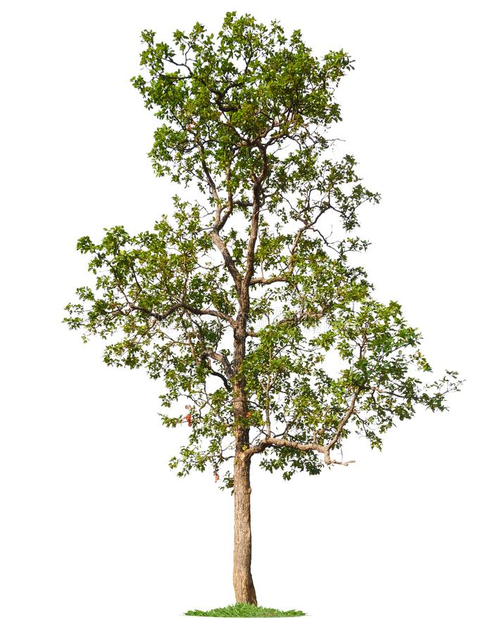 Isolated single big tree on white background royalty free stock photos