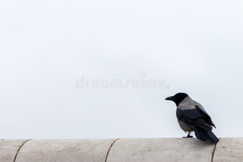 Isolated sitting raven against grey sky with copy space. Crow with beak in profile outdoor. Wildlife and freedom concept. Wild bird in city. Plumage and stock photography