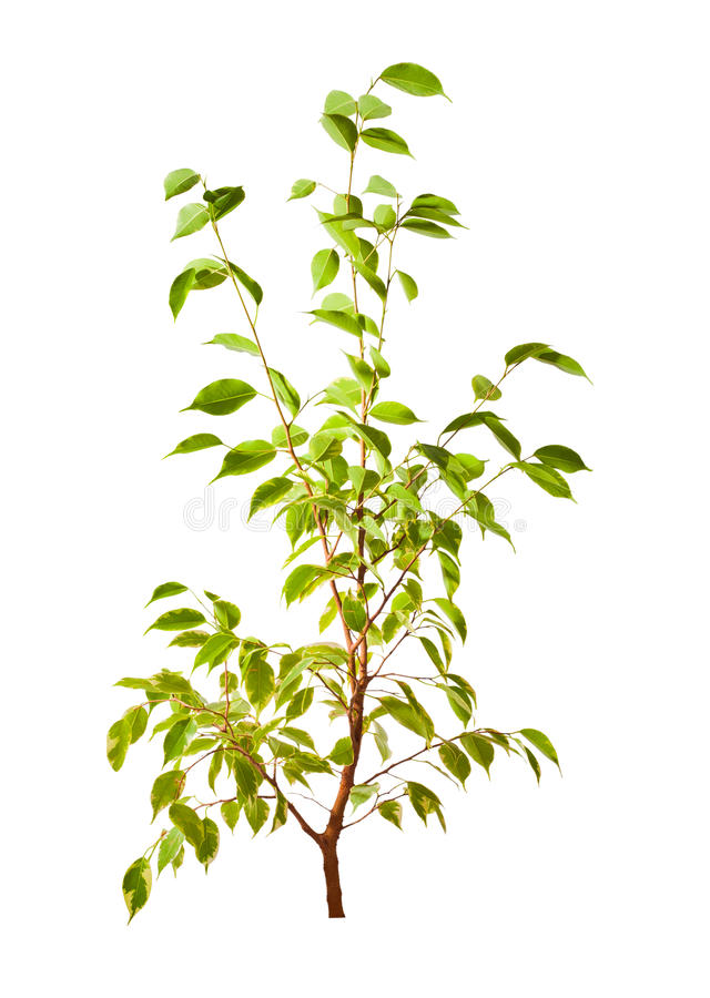 Isolated small green tree. Small green tree isolated on white background royalty free stock photography