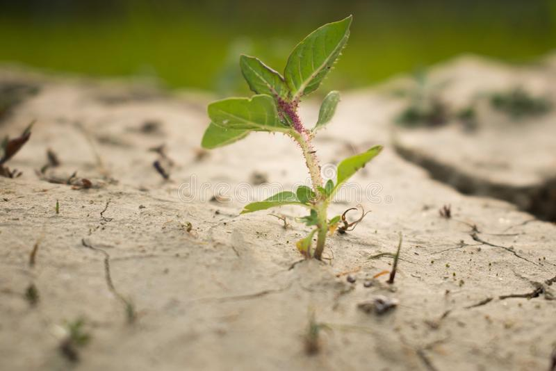 Isolated small plant planted on a dried soil stock images