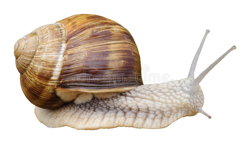 Isolated snail of Burgundy royalty free stock photo