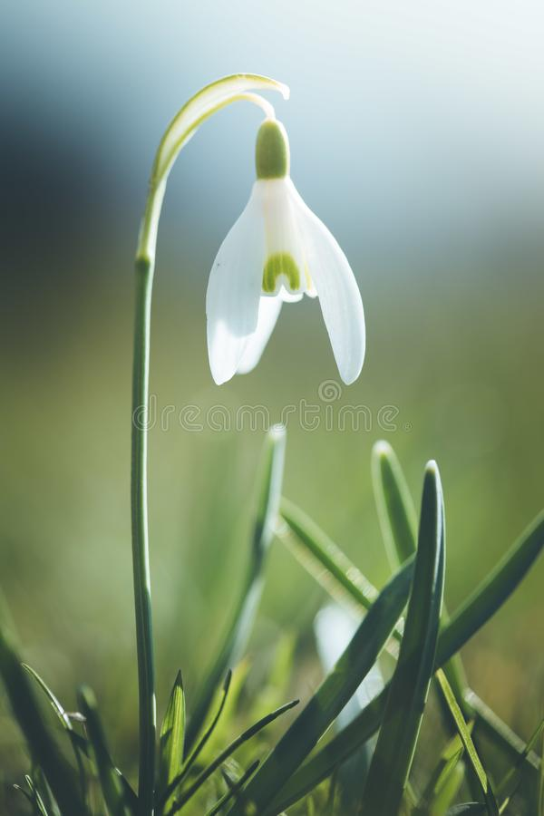 Isolated snowdrop flowers in spring, blurry background royalty free stock photo