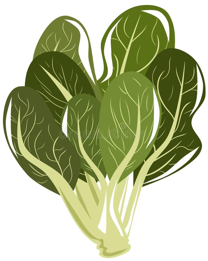 Isolated spinach beet. Illustration representing a spinach beet. A nice idea to talk about this vegetable vector illustration