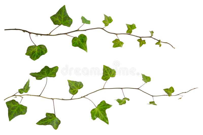 Isolated sprig of ivy with green leaves. Sprig of ivy with green leaves isolated on a white background royalty free stock image