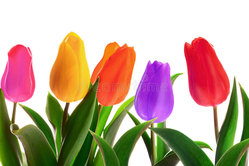 Isolated spring tulips. Flowerbed on a whute background royalty free stock photo