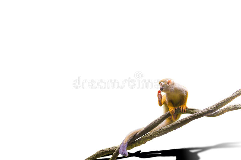 Isolated Squirrel Monkey. The isolated picture of a squirrel monkey stock images