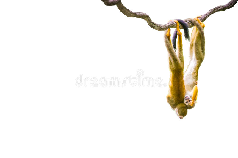 Isolated Squirrel Monkeys. The isolated picture of Squirrel Monkeys royalty free stock photography