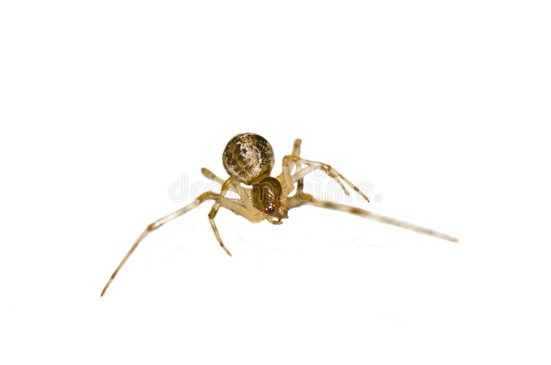 Isolated stretching macro spider stock photography