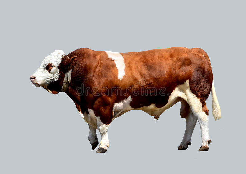 Isolated, strong bull. stock photos