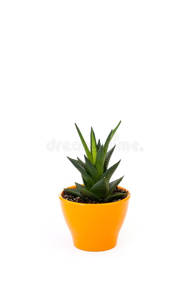Isolated succulent in orange pot on white background. Home and garden concept royalty free stock images