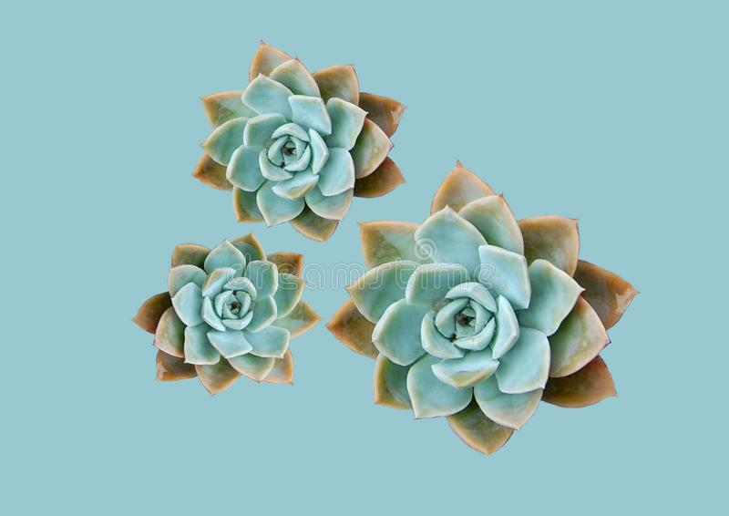 Isolated succulents with a pale green background. Isolated succulent plants with a pale green background, minimal and modern stock photos