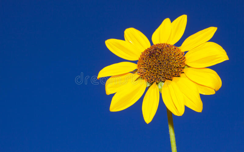 Isolated Sun Flower Stock Images