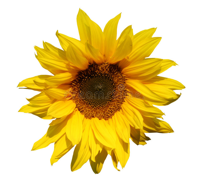 Isolated Sunflower Stock Photography