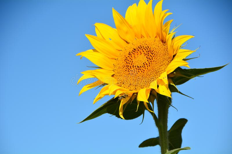 Isolated Sunflower Against Blue Sky in Willamette Valley, Oregon. This is an isolated sunflower against a blue sky in a field in Oregon`s Willamette Valley west stock images