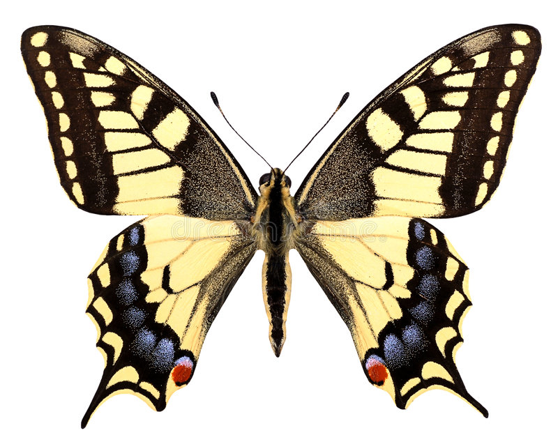 Isolated swallowtail. Butterfly seen on top on the white background stock photo