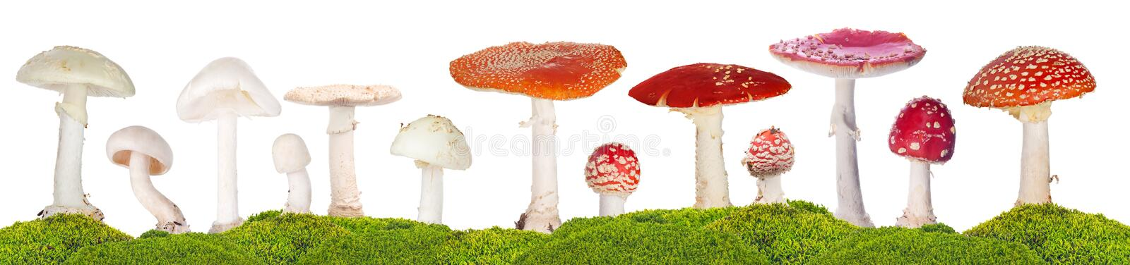 Isolated thirteen poisonous mushroom in green moss stock images