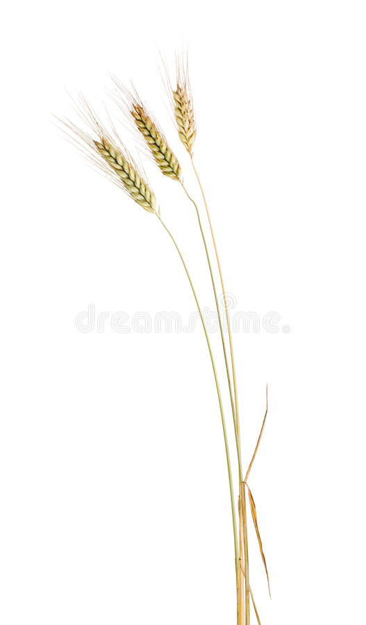 Download Isolated Three Ear Of Wheat With Long Awns Stock Image